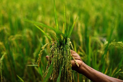 Genetically-engineered 'Golden Rice' can successfully address the problem of Vitamin-A deficiency in India and help save millions of lives