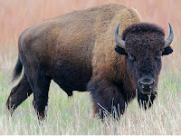 Bison Animal Pictures