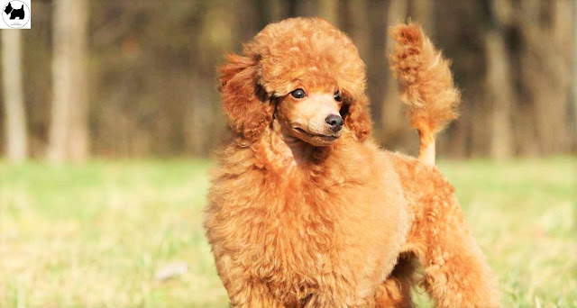 Cutest Dog Breeds, Best Dog, Toy Poodle Dog