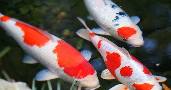 SEMUA BISA: Cara Budidaya ikan Koi kolam terpal dengan ...