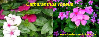 Diabetes use use Catharanthus roseus