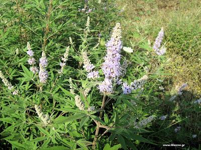 Λυγαριά-Το γυναικείο βότανο