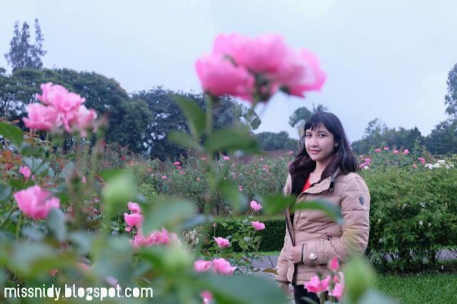 kebun bunga mawar di taman bunga nusantara