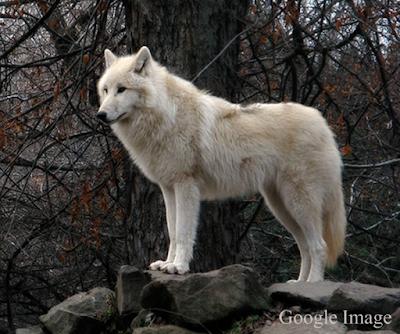 Canis lupus albus atau serigala tundra