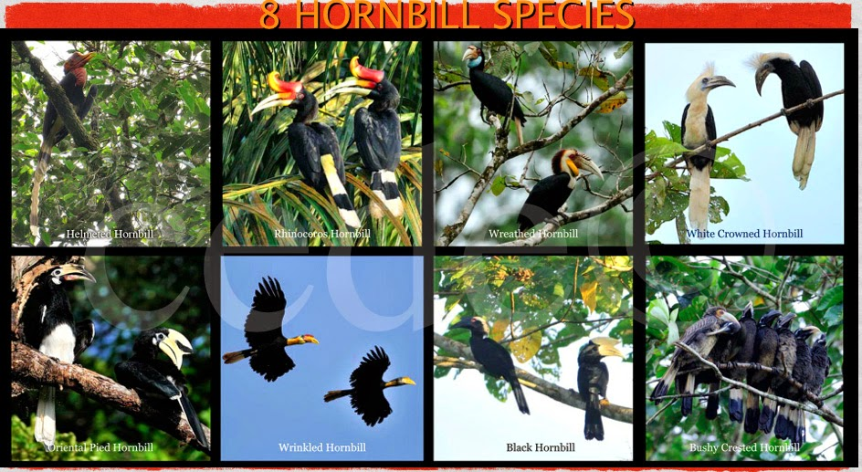 Sabah Hornbill Species