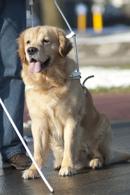 Dog attacks on guide dogs have severe consequences for both dog and handler. Photo shows seeing eye dog at work.