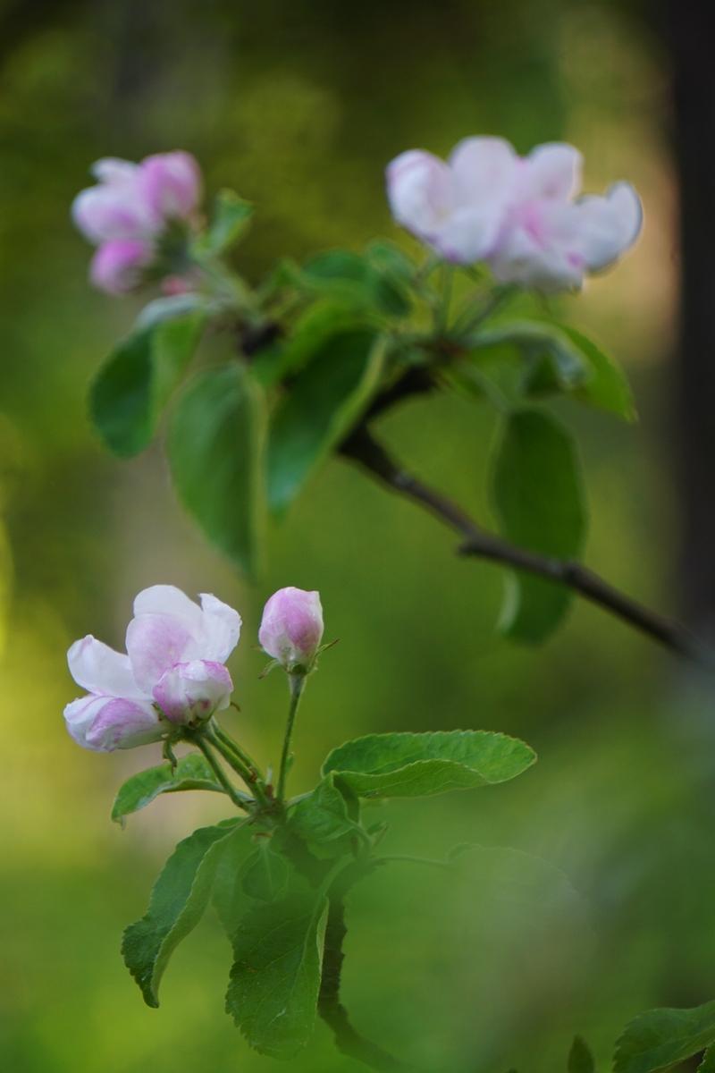 omenapuu, omenankukka