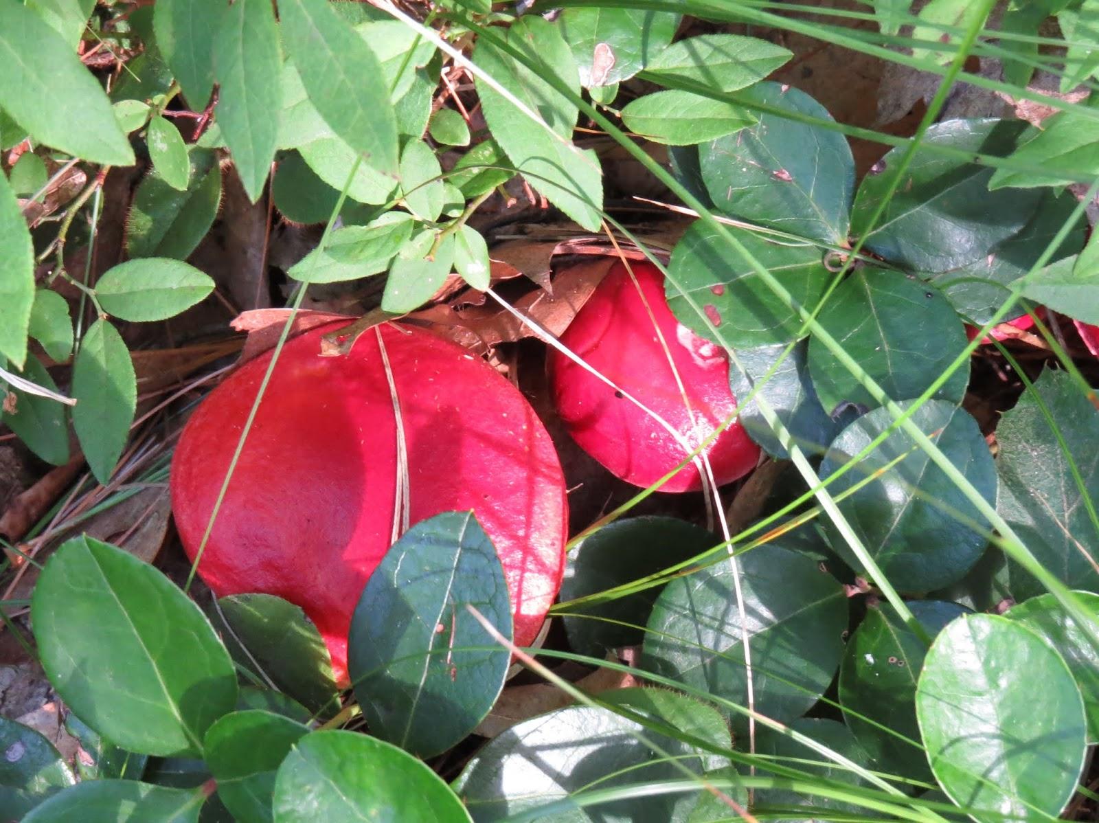 red russula mushroom