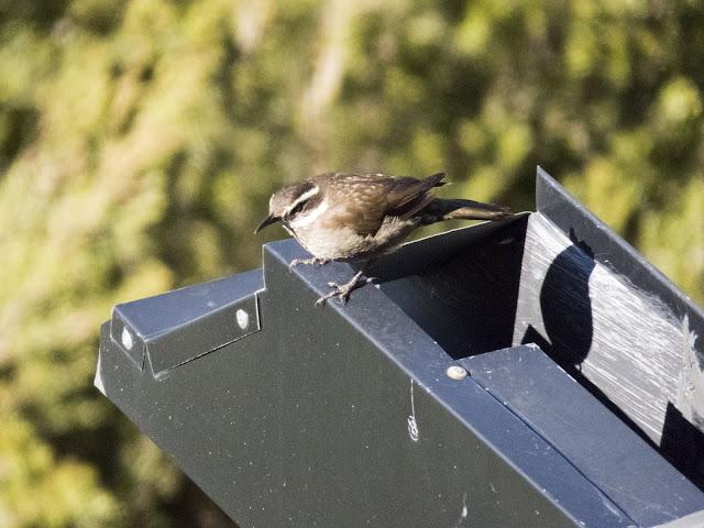 Birds of Patagonia: Buff-winged Cinclodes