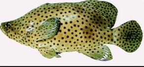 Ikan kerapu angsa merupakan salah satu komoditas  Kabar Terbaru- PELUANG USAHA BUDIDAYA KERAPU BEBEK