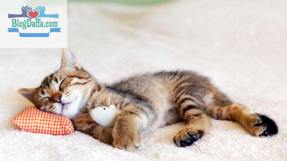 Kenapa Kucing Mendengkur