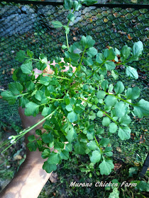 Garden weeds that can be fed to the chickens