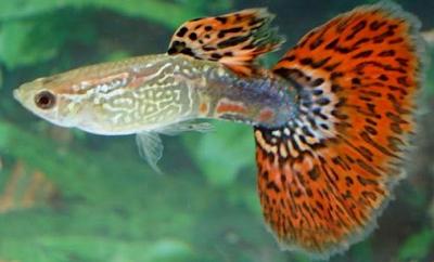 Harga Ikan Guppy Metal Red King Tahun 2016 - 2017
