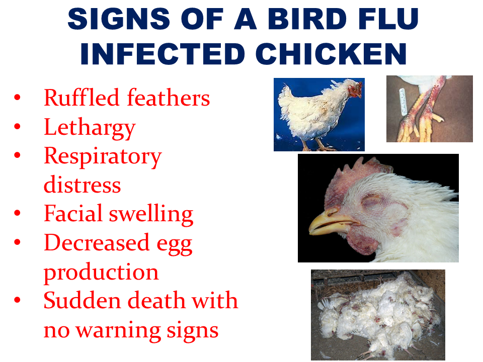 "Last Friday, the Department of Agriculture confirmed the outbreak of avian influenza virus (bird flu), the first case for the country, in San Luis, Pampanga which killed close to 40,000 poultry heads and placed the province in a state of calamity.  Test specimens confirmed the presence of highly pathogenic avian influenza (HPAI) subtype H5 has affected San Agustin in San Luis, Pampanga,with 37,000 birds infected and killed covering six farms of poultry, quail and ducks.  The outbreak prompted the poultry consumers from eating chicken especially if it came from unknown sources.  To control the spread of the disease, DA banned shipments of fowls from Luzon to any part of the country. Although DOH said that there are no reports of human being infected by the disease and there are low chances of animal to human transmission of the disease, the Department of Environment and natural resources has issued a warning to refrain from approaching any migratory birds in the light of fears that the virus came from birds. ""We discourage the killing or poaching of the birds because this could just worsen the situation. Close contact with the birds will risk transmission,"" DENR-BMB Director Mundita Lim said. She also said that the actual strain of the disease has to be identified for proper disease management recommendations. some epidemiological assessment has to be made as well as creating an inter-agency committee on zoonosis together with DA and DOH. The Bureau of Animal Industry (BAI) is in the process of sending the samples to the Australian Animal Health Laboratory, a World Organization for Animal Health (OIE) Reference Laboratory for avian influenza for further testing. What is Influenza A virus subtype H5N1? Also known as A(H5N1) or simply H5N1, is a subtype of the influenza A virus which can cause illness in humans and many other animal speciesA bird-adapted strain of H5N1, called HPAI A(H5N1) for highly pathogenic avian influenza virus of type A of subtype H5N1, is the highlycausative agent of H5N1 flu, commonly known as avian influenza (""bird flu""). It is (maintained in the population) in many bird populations, especially in Southeast Asia. One strain of HPAI A(H5N1) is spreading globally after first appearing in Asia. It is epizootic (an epidemic in nonhumans) and panzootic (affecting animals of many species, especially over a wide area), killing tens of millions of birds and spurring the culling of hundreds of millions of others to stem its spread.  Compared to AH1N1, the H5 strain is more fatal if contracted by humans.      If any human is infected, the usual signs according to World Health Association are fatigue, fever, conjunctivitis, sore throat, cough, and muscle aches. If the disease is remained untreated, the victim could experience rapid deterioration, viral pneumonia leading to respiratory distress, kidney failure, multi-organ failure or worst, death. Several H5N1 vaccines have been developed and approved, and stockpiled by a number of countries, including the United States Britain, France, Canada, and Australia, for use in an emergency.  How do you spot a chicken that is infected by bird flu virus?  Note these signs that a chicken is infected by the avian flu virus: •Ruffled feathers •Lethargy •Respiratory distress •Facial swelling •Decreased egg production •Sudden death with no warning signs   Now, how do you make sure that the chicken meat you bought from a local market is not infected with the virus?  Bounty Agro Ventures President Ronald Mascariñas shared some tips on how to spot a bird flu infected chicken if you are buying from a local market. According to Mascariñas, the meat of a healthy, non-infected chicken is really white.The meat of a potentially virus infected chicken has a lot of black marks or spots so you need to avoid chicken meat with these kind of pigmentation or discoloration.   To prevent yourself  and your loved ones, though the spread of the disease in humans are rare but possible,  you should be aware on how the disease could spread.   The DOH and the Department of Agriculture assured the public that they are doing all possible measures to contain the outbreak. The DENR will also issue a memorandum to all its regional directors to intensify surveillance at airports and seaports pertaining to the smuggling of wild birds. Read More:     China's plans to hire Filipino household workers to their five major cities including Beijing and Shanghai, was reported at a local newspaper Philippine Star. it could be a big break for the household workers who are trying their luck in finding greener pastures by working overseas  China is offering up to P100,000  a month, or about HK$15,000. The existing minimum allowable wage for a foreign domestic helper in Hong Kong is  around HK$4,310 per month.  Dominador Say, undersecretary of the Department of Labor and Employment (DOLE), said that talks are underway with Chinese embassy officials on this possibility. China's five major cities, including Beijing, Shanghai and Xiamen will soon be the haven for Filipino domestic workers who are seeking higher income.  DOLE is expected to have further negotiations on the launch date with a delegation from China in September.   according to Usec Say, Chinese employers favor Filipino domestic workers for their English proficiency, which allows them to teach their employers' children.    Chinese embassy officials also mentioned that improving ties with the leadership of President Rodrigo Duterte has paved the way for the new policy to materialize.  There is presently a strict work visa system for foreign workers who want to enter mainland China. But according Usec. Say, China is serious about the proposal.   Philippine Labor Secretary Silvestre Bello said an estimated 200,000 Filipino domestic helpers are  presently working illegally in China. With a great demand for skilled domestic workers, Filipino OFWs would have an option to apply using legal processes on their desired higher salary for their sector. Source: ejinsight.com, PhilStar Read More:  The effectivity of the Nationwide Smoking Ban or  E.O. 26 (Providing for the Establishment of Smoke-free Environment in Public and Enclosed Places) started today, July 23, but only a few seems to be aware of it.  President Rodrigo Duterte signed the Executive Order 26 with the citizens health in mind. Presidential Spokesperson Ernesto Abella said the executive order is a milestone where the government prioritize public health protection.    The smoking ban includes smoking in places such as  schools, universities and colleges, playgrounds, restaurants and food preparation areas, basketball courts, stairwells, health centers, clinics, public and private hospitals, hotels, malls, elevators, taxis, buses, public utility jeepneys, ships, tricycles, trains, airplanes, and  gas stations which are prone to combustion. The Department of Health  urges all the establishments to post ""no smoking"" signs in compliance with the new executive order. They also appeal to the public to report any violation against the nationwide ban on smoking in public places.   Read More:          ©2017 THOUGHTSKOTO www.jbsolis.com SEARCH JBSOLIS, TYPE KEYWORDS and TITLE OF ARTICLE at the box below Smoking is only allowed in designated smoking areas to be provided by the owner of the establishment. Smoking in private vehicles parked in public areas is also prohibited. What Do You Need To know About The Nationwide Smoking Ban Violators will be fined P500 to P10,000, depending on their number of offenses, while owners of establishments caught violating the EO will face a fine of P5,000 or imprisonment of not more than 30 days. The Department of Health  urges all the establishments to post ""no smoking"" signs in compliance with the new executive order. They also appeal to the public to report any violation against the nationwide ban on smoking in public places.          ©2017 THOUGHTSKOTO  Dominador Say, undersecretary of the Department of Labor and Employment (DOLE), said that talks are underway with Chinese embassy officials on this possibility. China's five major cities, including Beijing, Shanghai and Xiamen will soon be the destination for Filipino domestic workers who are seeking higher income."