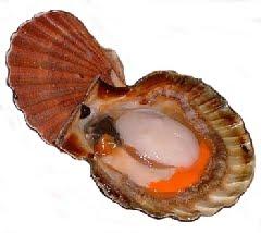 Molusco Coquille Saint Jacques (Nodipecten nodosus)