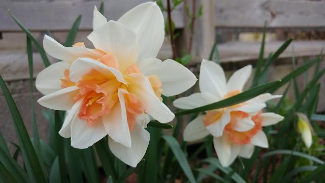 Blended daffodils