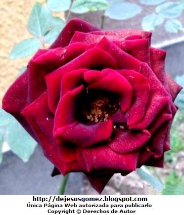 Foto de rosa roja de Jesus Gómez