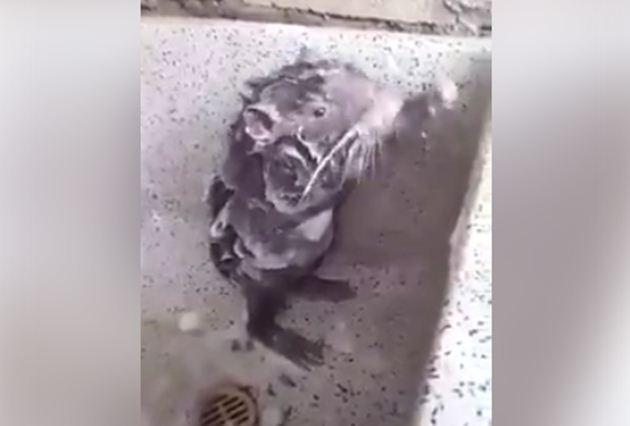 Tikus Mandi - Facebook