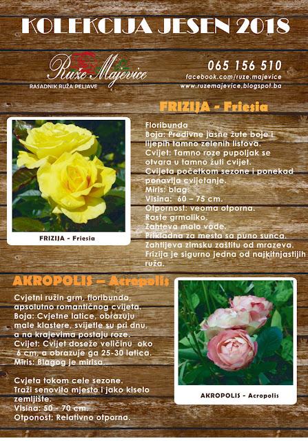 Žuta ruža Frizija i roye ruža Akropolis