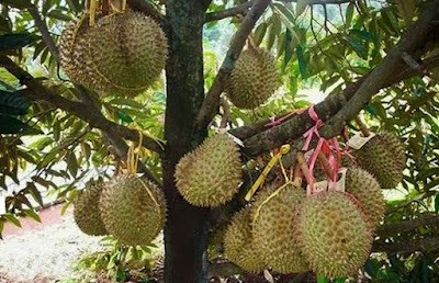 Mengenali 4 Hama Pengganggu Pohon Durian
