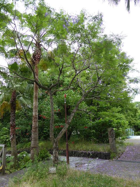 花博記念公園鶴見緑地のジャカランダ