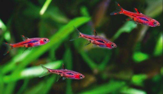 Chili Rasbora Care Ikan Hias Asli Indonesia Dan Cara Merawatnya