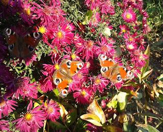 Motyle, kwiaty polskie, kalendarz kwiaty polskie