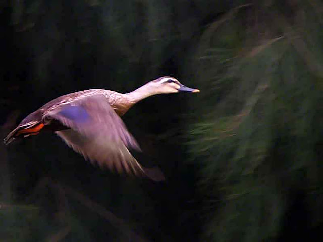 Chinese Spot-billed Duck in Flight