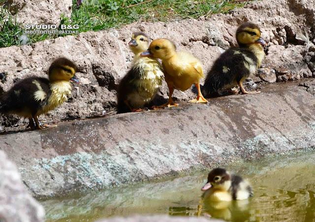 Γεννητούρια στο πάρκο Ναυπλίου - Εκπληκτικά παπάκια ξετρελαίνουν μικρούς και μεγάλους (βίντεο)