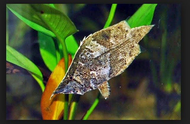 Ikan Daun Air Tawar, Cara Merawat dan Harganya