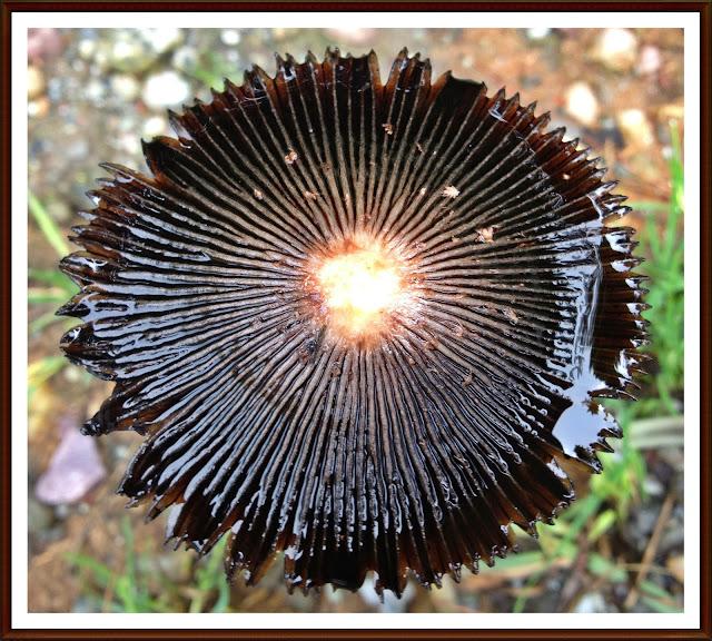 Forest, Mushroom, Black, Baijnath, Himachal