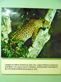 jaguars in southern arizona