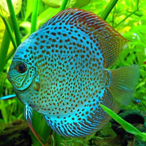 Criadero de peces ornamentales for Variedad de peces