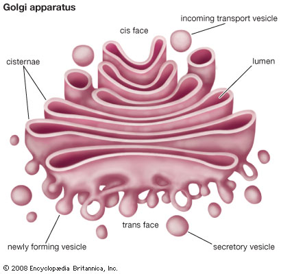madical information: Short note on Golgi apparatus and ...
