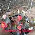Jual Tanaman Bunga Begonia Semperflorens LiLin Harga Murah
