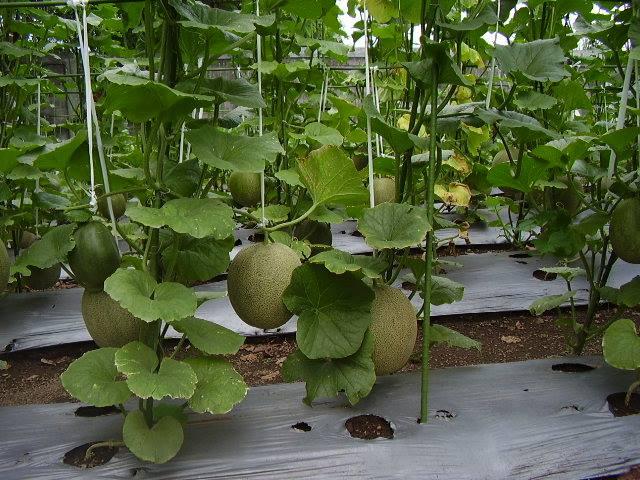 Pohon Melon Berbuah Lebat