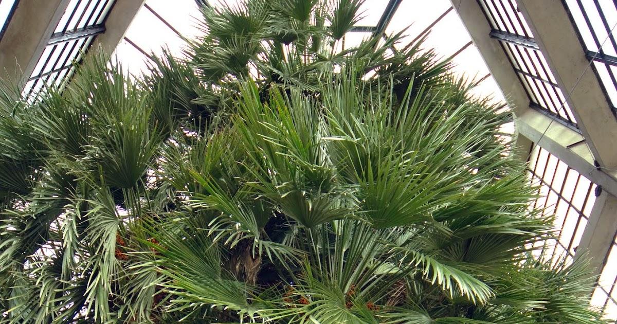 Ultimissime dall 39 orto la palma di goethe su giardino antico for Palma di san pietro