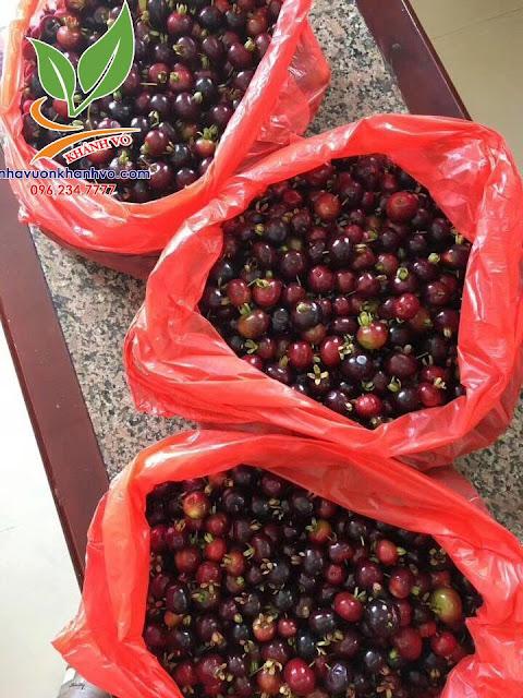Cherry Brazil loaị cây thích hợp trồng nhiệt đới 20bf9a1aa1bf43e11aae_result