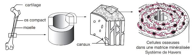 Organisation du tissu osseux
