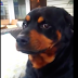 Human Asks His Rottweiler To Make His Mean Face. He Proceeds To Make The Most Hysterical Face Ever.