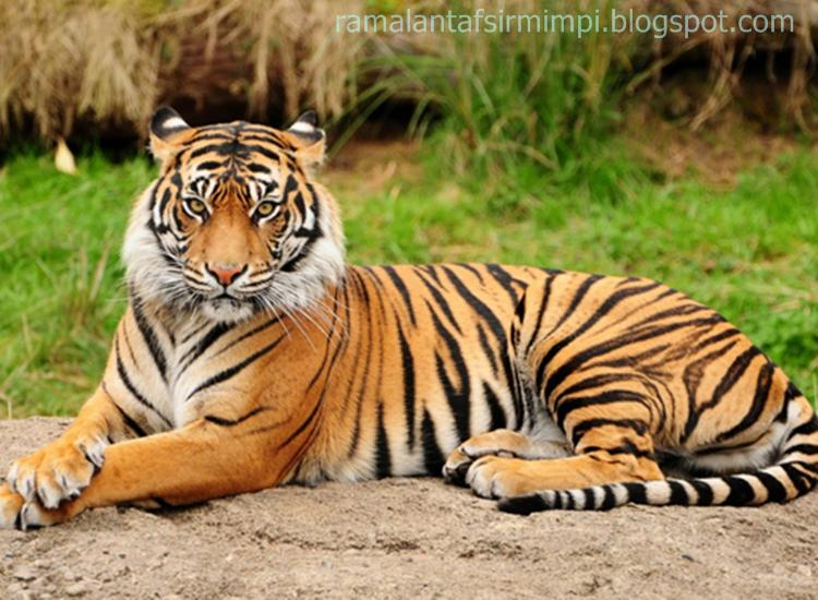 Hrimau adalah merupakan kucing yang paling besar diantara kelompoknya 11 Arti Mimpi Lihat Seekor Harimau Menurut Primbon Jawa