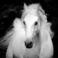 Uzun saçlı güzel bir beyaz dişi at veya kısrak