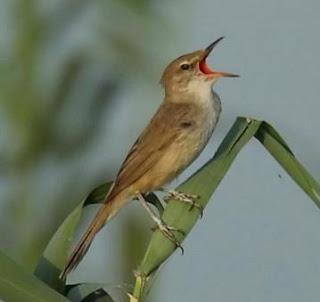 Suara Burung Kerakbasi Ramai
