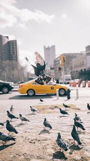 Pigeon at car Mobile HD Wallpaper