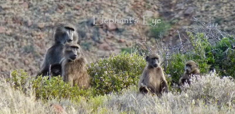 Baboons of Baviaanskloof