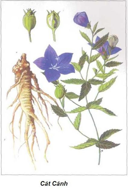 CÁT CÁNH - Platycodon grandiflorum - Nguyên liệu làm thuốc Chữa Ho Hen