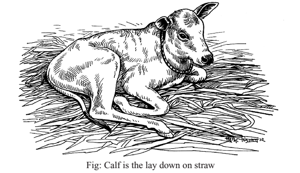 Tips for Agriculture: How to Care a Calf