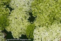 Hortensja drzewkowata- Hydrangea arborescens