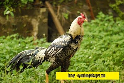 Mengapa Kepala Ayam Maju Mundur Ketika Berjalan??