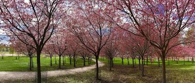 Roihuvuoren kirsikkapuut Helsingissä